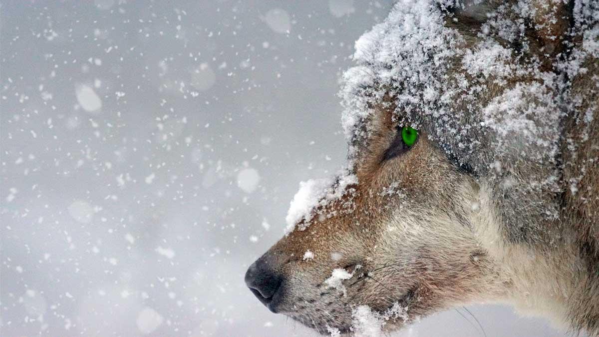 difendersi-da-un-lupo
