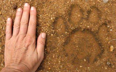 Riconoscere le impronte di animali selvatici